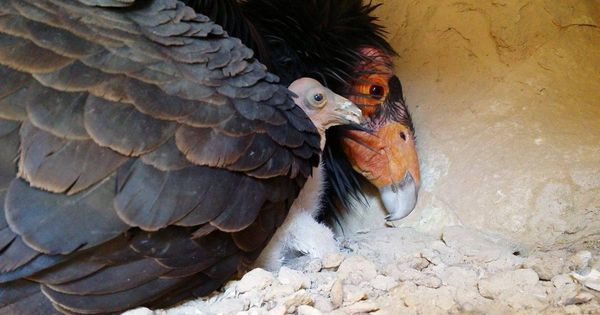 Hello World! Watch A Wild Baby California Condor Grow Up Streaming Live
