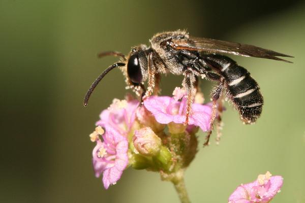 Wallonie picarde : Les pollinisateurs ne connaissent pas les frontières - Wallonie picarde: bestuivers kennen geen grenzen