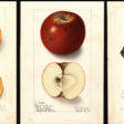 In 1886, the US Government Commissioned 7,500 Watercolor Paintings of Every Known Fruit in the World