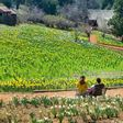 Famous Daffodil Hill in California Is Closing Indefinitely Due to Overtourism