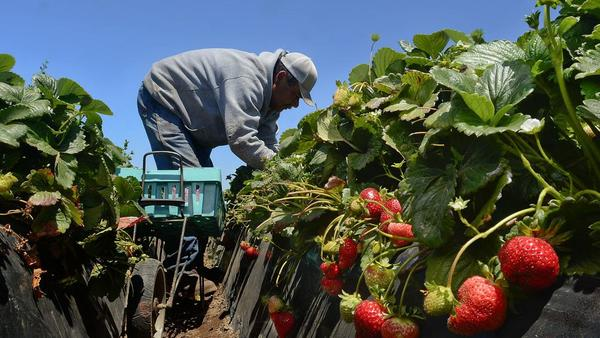 Five new strawberry varieties available to growers this fall | Agriculture | syvnews.com