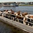 'Het is bijna oud-Hollands', koeien met pontje vervoerd in Kagerplassen