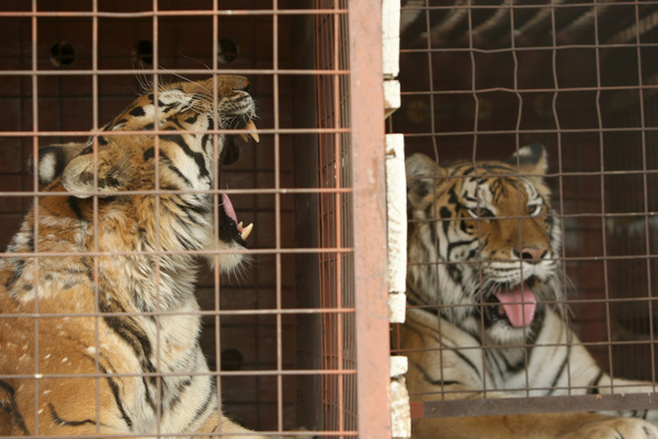 The Wildlife Waystation Has Closed. So What Happens To All Those Lions And Tigers And Chimps?: LAist
