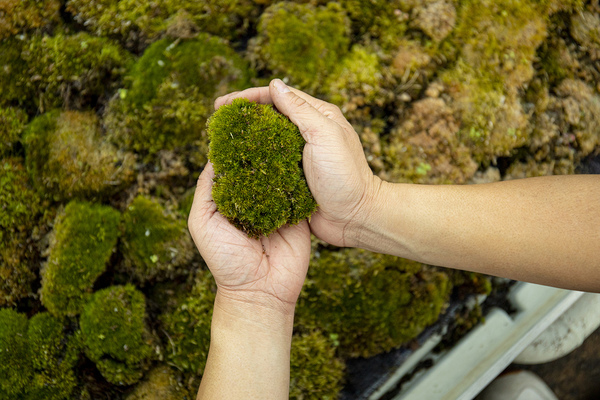 Air pollution-eating moss cleans hotspots in Europe