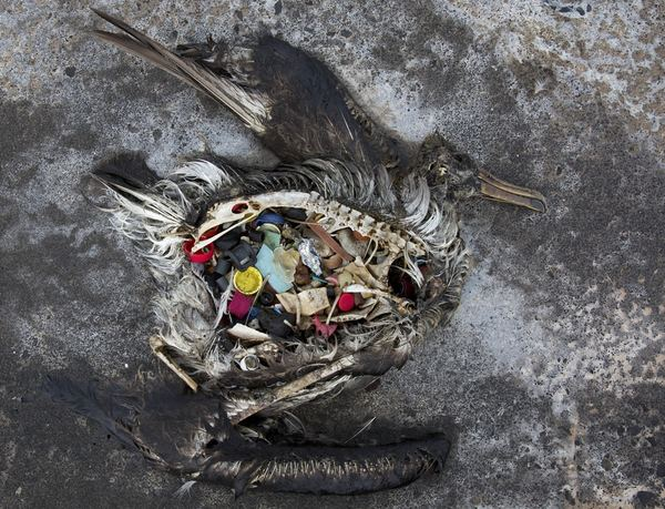 A dead albatross chick with plastic in its stomach