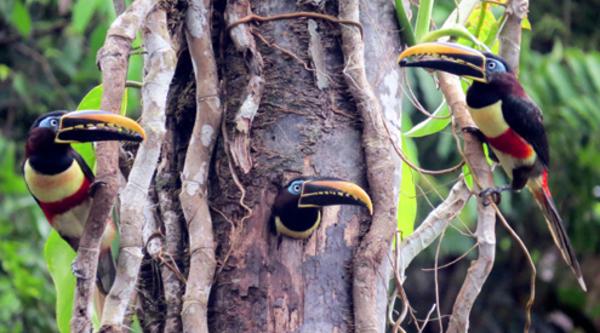 Peru will für die Palmöl-Produktion keine Wälder mehr abholzen