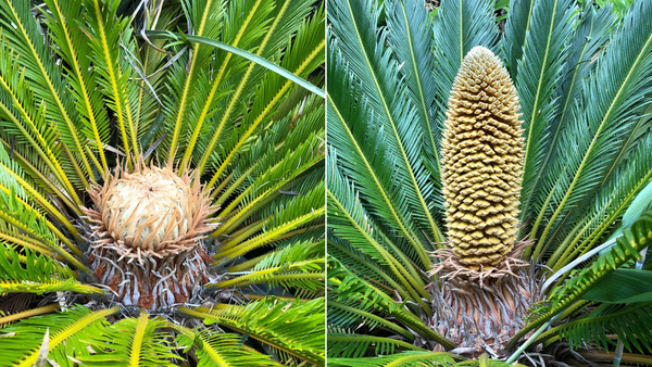 Diese tropische Pflanze produziert zum ersten Mal im United Kingdom Zapfen