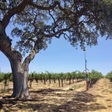 California Oak Trees Harbor Insect-Eating Bats - California Agriculture News | California Agriculture