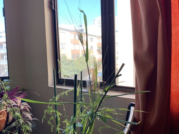 I am 100% confirmed that I am indeed growing wheat in my apartment. I still don't know what I'll do with this (dry out in pot? pick and then dry out?).