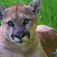 Simi Valley man accused of fatally shooting protected mountain lion in the head