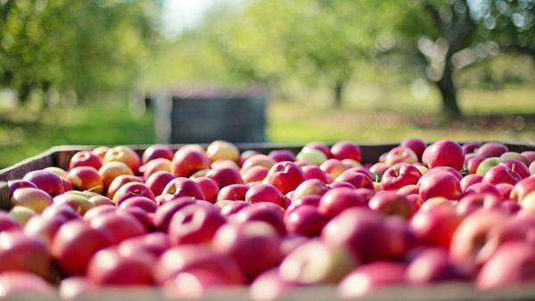 La récolte des pommes est mauvaise - Appeloogst is ondermaats