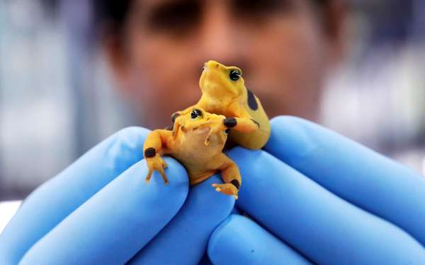 A scientist holds two golden frogs. This amphibious is the national symbol of Panama. Credit: Bienvenido Velasco/EPA-EFE/REX