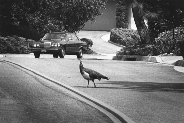 Why Are There Peacocks on the Street in Glendora?