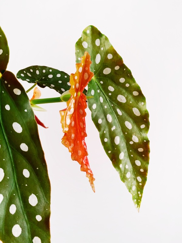 My begonia maculata keeps putting out new leaves, like this orange one!