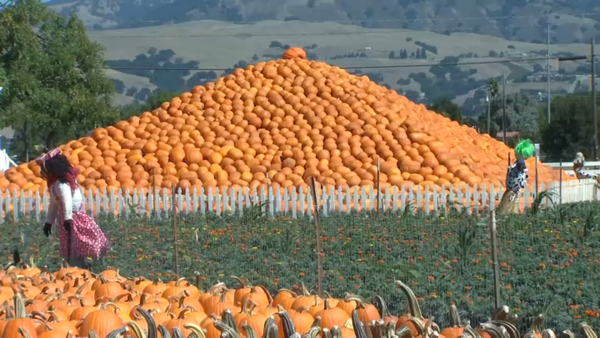 Sheriff's Department Will Patrol Popular Uesugi Farms Pumpkin Patch - NBC Bay Area
