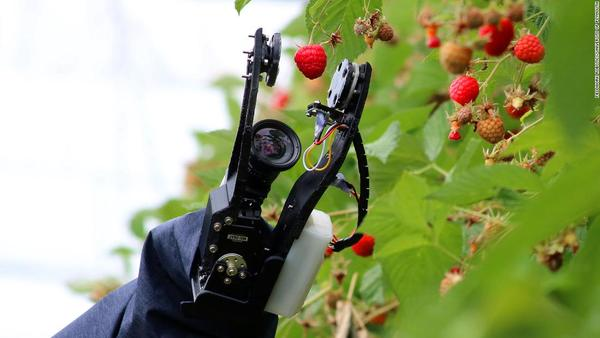 A raspberry picking robot by Fieldwork Robotics. (CNN Business)
