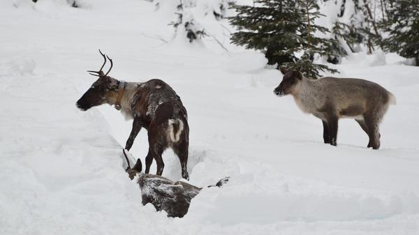 U.S. boosts caribou protections a year after relocating the last Lower 48 caribou to Canada