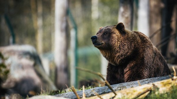 Who owns the wild: grizzlies or humans?