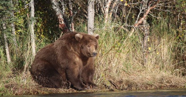 Fat Bear Week 2019 : Alaska's Katmai National Park's fattest brown bear is up to you - Vox