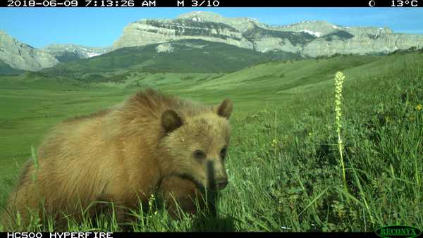 'We are in crisis mode': Bernhardt hears concerns about Montana's growing grizzly population