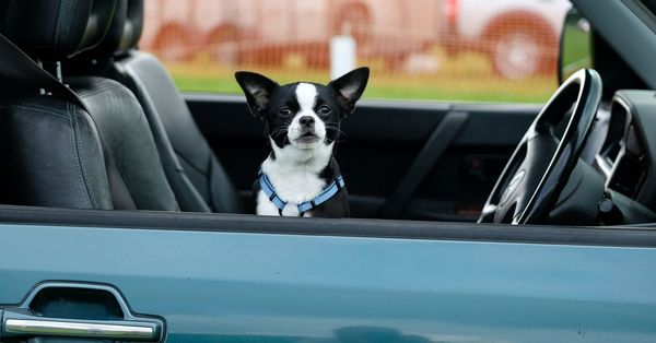 Uber Pet lets furry friends join the ride —for a fee