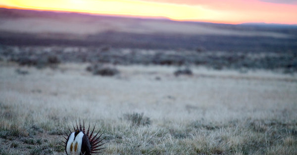 Court blocks Trump's plan to ease sage grouse protections in Western states