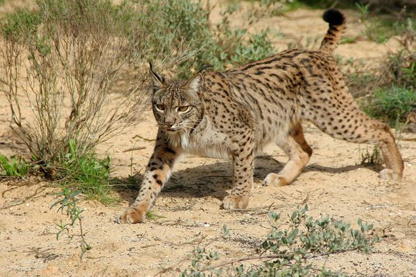 How the Iberian Lynx Bounced Back From the Brink of Extinction | Science | Smithsonian