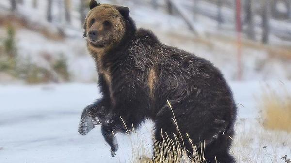 Urge to view bruins collides with growing population of bears, tourists