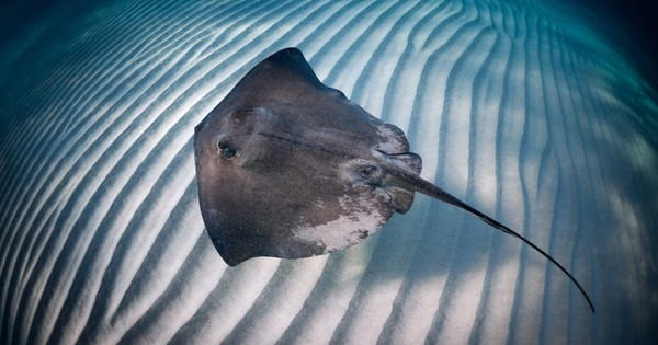 176 people stung by stingrays in one day in Huntington Beach - Los Angeles Times