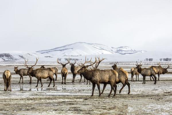 National Elk Refuge poised to change century-long feeding practices