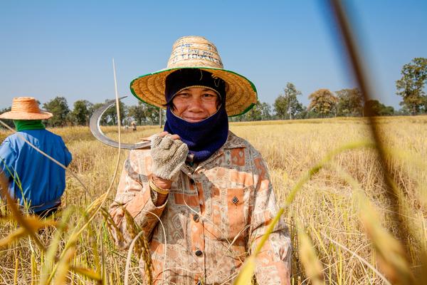 Thaise boerin haalt met de hand de rijst binnen.
