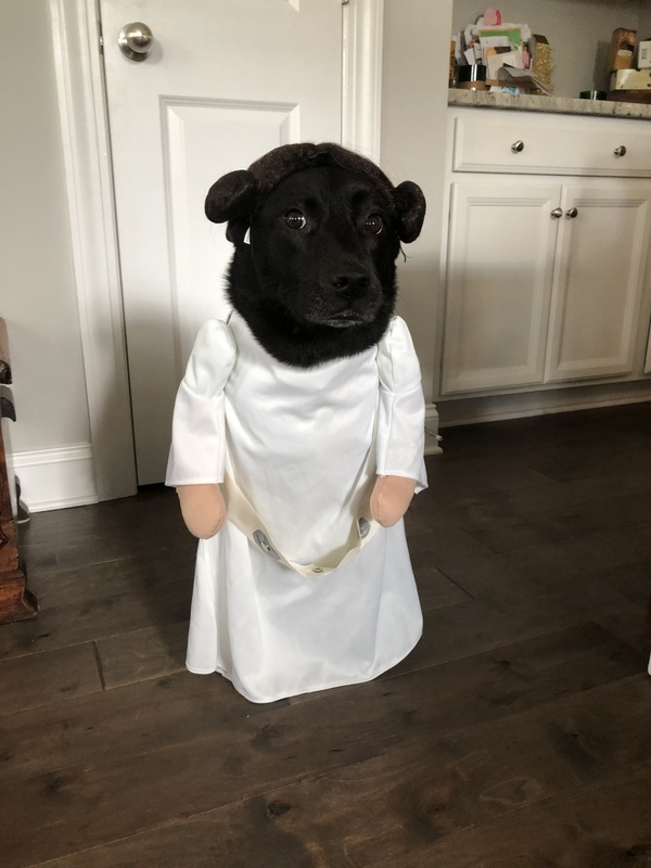 My roommate's dog Scout dressed as Princess Leia. The side eye really completes the look.