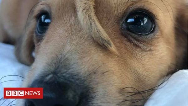 Narwhal: Puppy with extra tail on his head rescued - BBC News