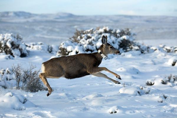 Caribou, wolves, mule deer among international champs of mammalian migrations