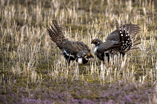 Citing sage-grouse ruling, Colorado BLM yanks federal oil, gas leases from December sale
