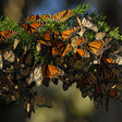 Gardening: What you should know about Monarch butterflies – Orange County Register