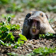 Master Gardener: What to plant in your yard that gophers won't eat – Press Enterprise