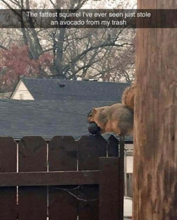 Super giant squirrel stealing an avocado - Credit: Reddit/u/bunnies1231