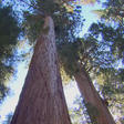 Treetop science: Measuring the changing climate's effects on California sequoias - CBS News
