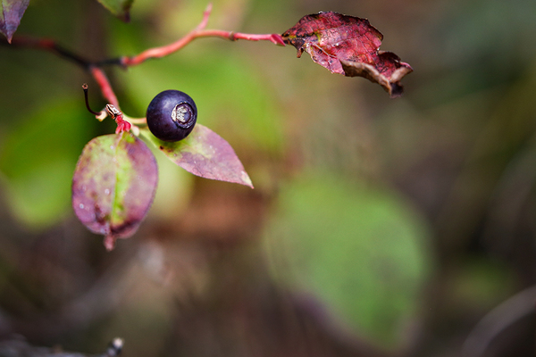 The impacts of climate change on huckleberries