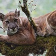 Coastal fog linked to high levels of mercury found in mountain lions, study finds