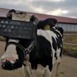 Bizar: Koeien op Russische boerderij dragen VR-bril