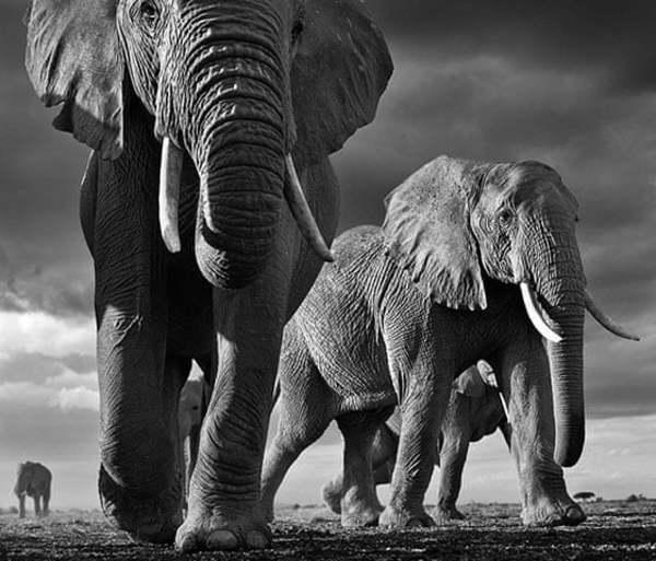 """""""Big"""", Amboseli, Kenya 2012"""
