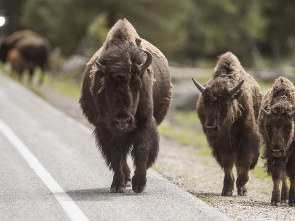 Between 600 and 900 Yellowstone bison to be culled this winter