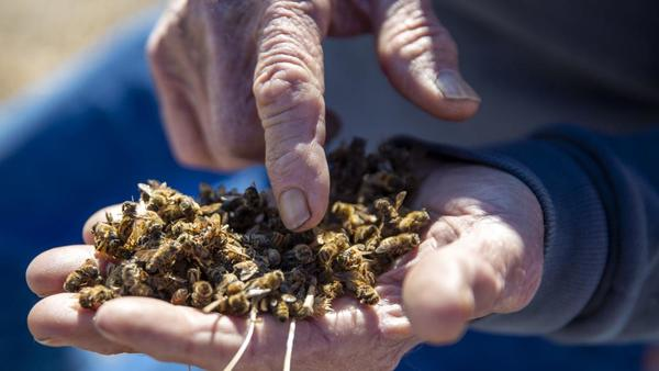 'This is total devastation'—Magic Valley bees dying in droves