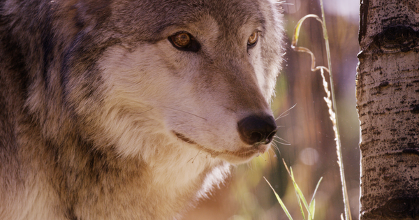 Wolf supporters say they gathered 200,000 signatures, enough for reintroduction question on 2020 ballot