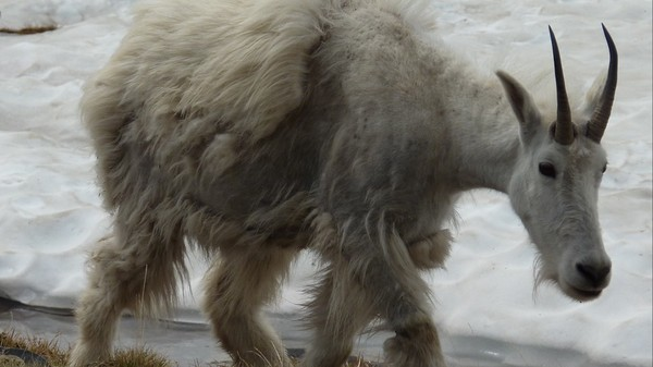 Glacier National Park's iconic mountain goats are being threatened by melting ice and snow