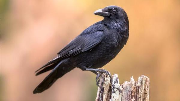 Crows could be the smartest animal other than primates - BBC Future
