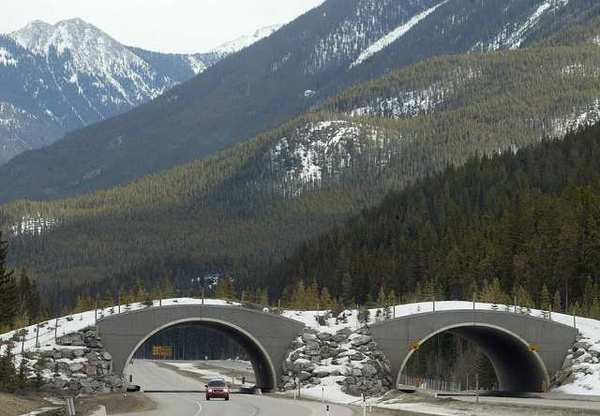 Success of wildlife corridors in Banff park has advocates wanting more