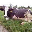 Van koeien melken met de hand naar een robot die het werk uit handen neemt